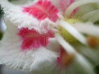 Chestnut_tree_blossom