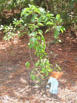Chapmans Giving Tree