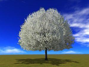 Bradford_Pear_Tree_Spring Flowers
